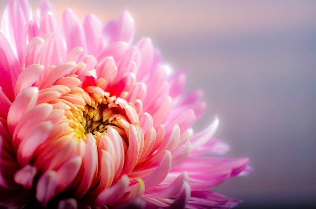 Kvetoucí chryzantéma